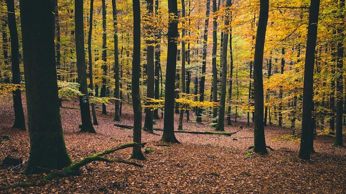 Bosque-hayas